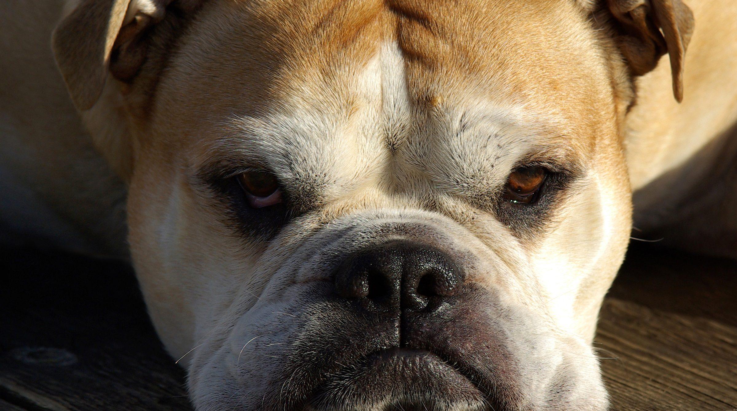 Vakthund bulldog